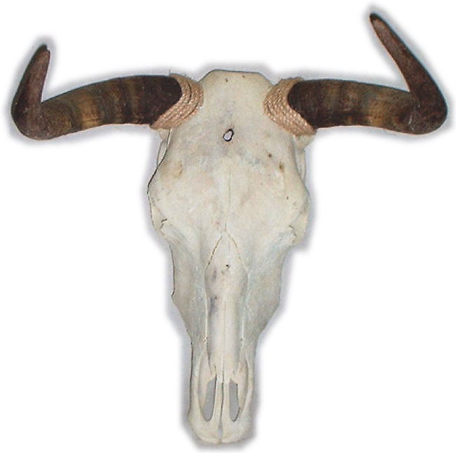 Pictures of Painted Cow Skulls http://lilz.eu/bull-skull/